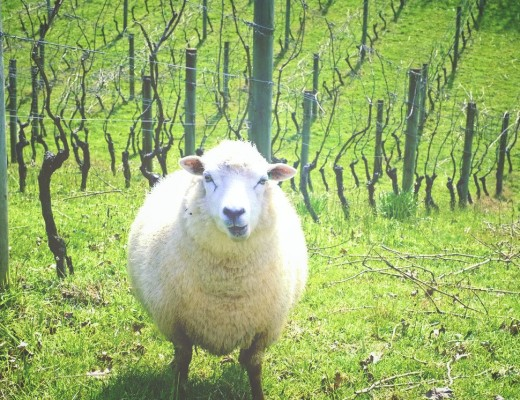 owca.jpg
